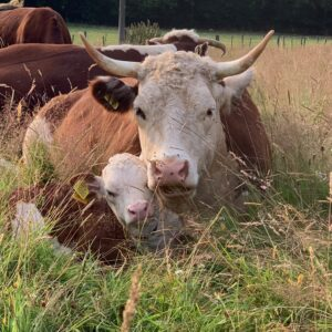 Traditional Hereford Cow and Calf