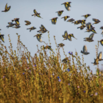 Goldfinches and linnets in winter