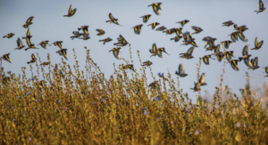 Goldfinches and linnets