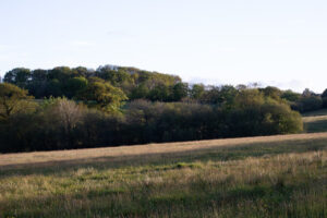 Canopy oak woods