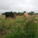 Suckler herd grazing species rich pasture