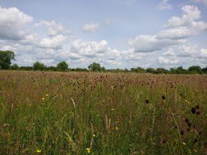 Rich flood plain hay meadow