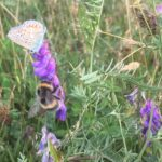 Common blue and bumblebee in hay meadow