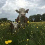 Cow and calf in buttercups