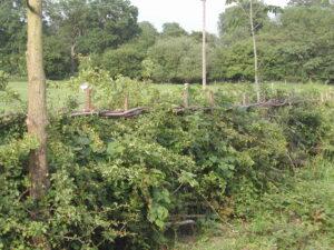 Laid hedge joining woodland