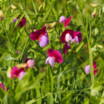 Grass vetchling