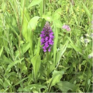 Orchid in the meadow's of Hills of Edingley