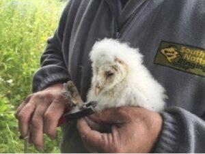 Ringing owl chick