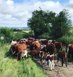 Hardy and docile Pedigree Shorthorn cattle